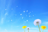 dandelion seed 2 - 13748338