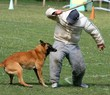 berger,belge,malinois,mordre,,chien,dressage,canin