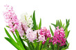 Hyacinth Flower Plants
