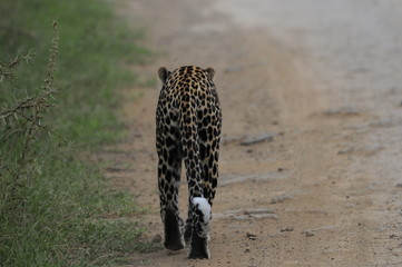 Leopard goes on the road