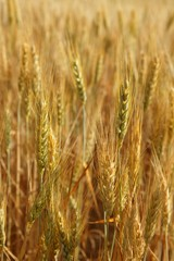 golden wheat cereal yellow field