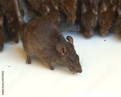 Holy Rats in Hindu temple drinking milk