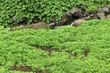 cressonnière naturelle en eaux courantes