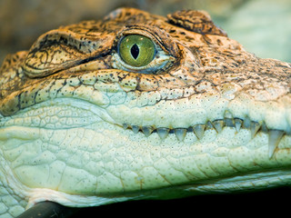 crocodile`s head
