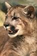 Cougar Smile