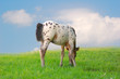 little pony appaloosa foal