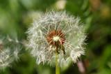 Fuzzy dandelion against green background poster