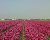 Tulipfield in the Netherlands