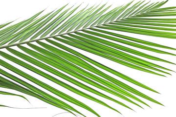 palme verte de palmier-palmiste sur un fond blanc
