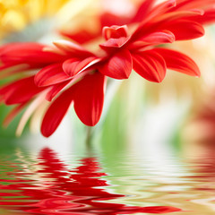 Red daisy-gerbera with soft focus reflected in the water