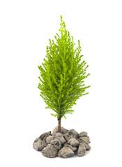 Urban Greening - Cypress Pine Sapling Growing Through Crushed Co