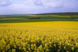 Panoramic view of rapeseed field and green meadows