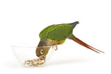 Green-cheeked Conure 1 poster