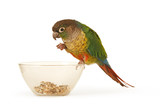 Green-cheeked Conure 3 poster