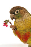 Green-cheeked Conure 4 poster