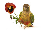 Green-cheeked Conure 5 poster
