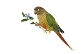 Green-cheeked Conure 6 poster