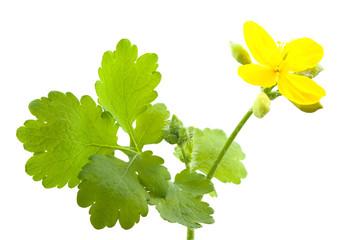 Flower of celandine