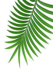 feuille verte de palmier-sagoutier