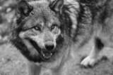 Fototapeta biały - strach - Dziki Ssak