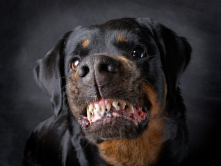 Dog of breed rottweiler.