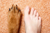 Human foot and paw of a Rottweiler on a pink carpet poster
