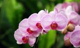 Fototapety Blütenreihe einer Phalaenopsis-Orchidee
