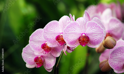Fototapeten,orchidee,orchidee,phalenopsis,blume