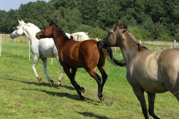 Pferde, Schimmel, Araber