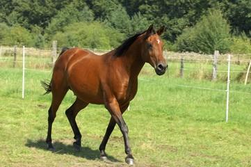 Pferde, Araber