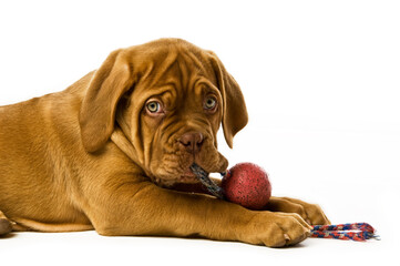 Dogue De Bordeaux puppy isolated on a white background