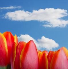Tulip Tops
