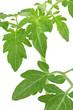 Green tomato leaves