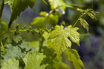 leaf wine