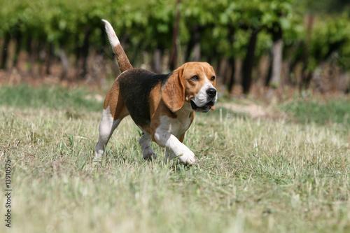 Beagle adulte marchant seul la campagne d 39 un air d cid - Beagle adulte ...