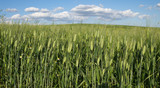 Crop in growth of unripe wheat poster