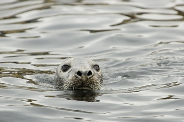 swimming seal