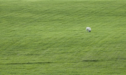 sheep on green hilly field