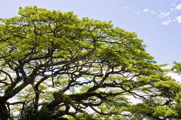Massive Old Tree