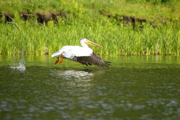 A pelican over water