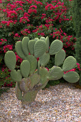 Prickly Pear Cactus w/ flowery background