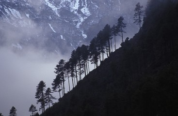 Row of coniferous trees on mountainside
