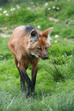 female maned wolf poster