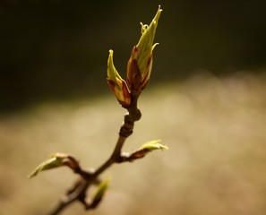 Budding tree leaf