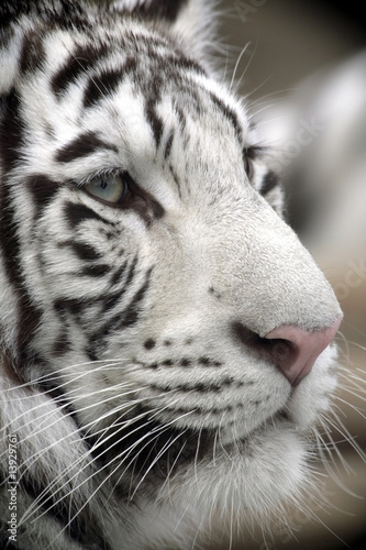 White Tiger Portret Close Up