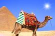 camel on desert sun
