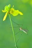 Zanzara - Mosquito poster