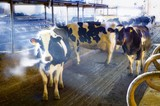 Dairy cows in a barn poster