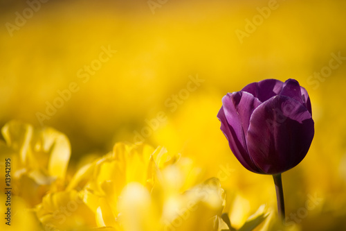 One purple tulip among row of yellow tulips