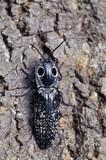 Closeup of eastern eyed click beetle sitting on bark, Gunpowder Falls State Park poster